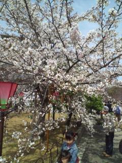 今年は桜咲かず